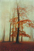 Beech tree with red-orange autumn foliage on a misty November day