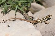 Snake-eyed Lizard Ophisops elegans Israel