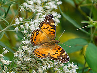 An American Lady (Vanessa virginiensis) on White Snakeroot (Ageratina altissima) at the Dene in Central Park, Sept. 21, 2021.