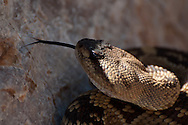 A Black-tailed Rattlesnake (Crotalus molossus) in Cave Creek Canyon, Chiricahua Mountains, Arizona