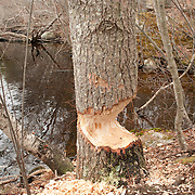 A beaver has gnawed through the base of a tree; but not enough to fell it.