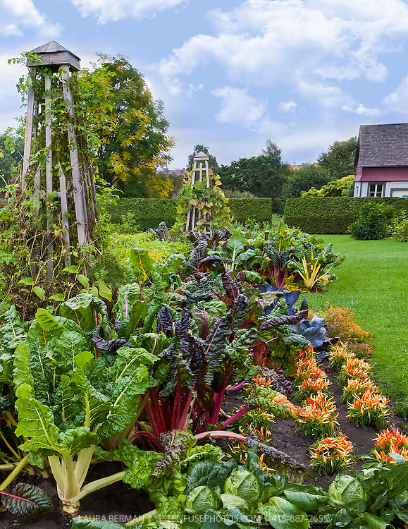 Bright Lights chard, ornamental peppers, cabbages and tomatoes on obelisk trellises add colour to a kitchen garden in early autumn.