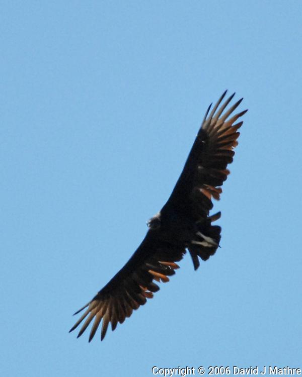 Black Vulture (Coragyps atratus). Boquillas Canyon, Big Bend National Park, Texas. Image taken with a Nikon D200 camera and 80-400 mm lens.