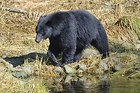 Black Bear (Ursus americanus) walking along a stream,  Thornton Creek, Ucluelet , British Columbia, Canada