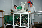 1990s shop staff prepares a recently-killed fish in a Budapest store, on 13th June 1990, in Budapest, Hungary.