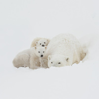 Mother Polar Bear with her two cubs resting in a blizzard in Wapusk National Park souty of Churchill Manitoba Canada near the Hudson Bay.