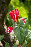 Red Anthurium, World Botanical Gardens & Waterfalls.at Botanical World, Hamakua Coast, Island of Hawaii