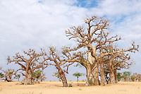 Sénégal, Région du Sine Saloum, Baobab // Senegal, Baobab at Sine Saloum park.