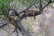 Leopard resting with it's kill in a big tree in Kruger NP, South Africa.
