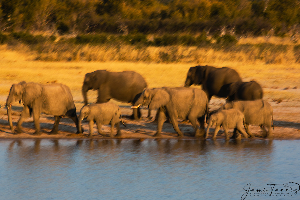 A herd of African elephants (Loxodonta africana)  quickly trying to find a spot to drink at a water hole at sunset, Hwange National Park, Zimbabwe,Africa