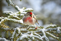 A male common redpoll in a snowy spruce tree