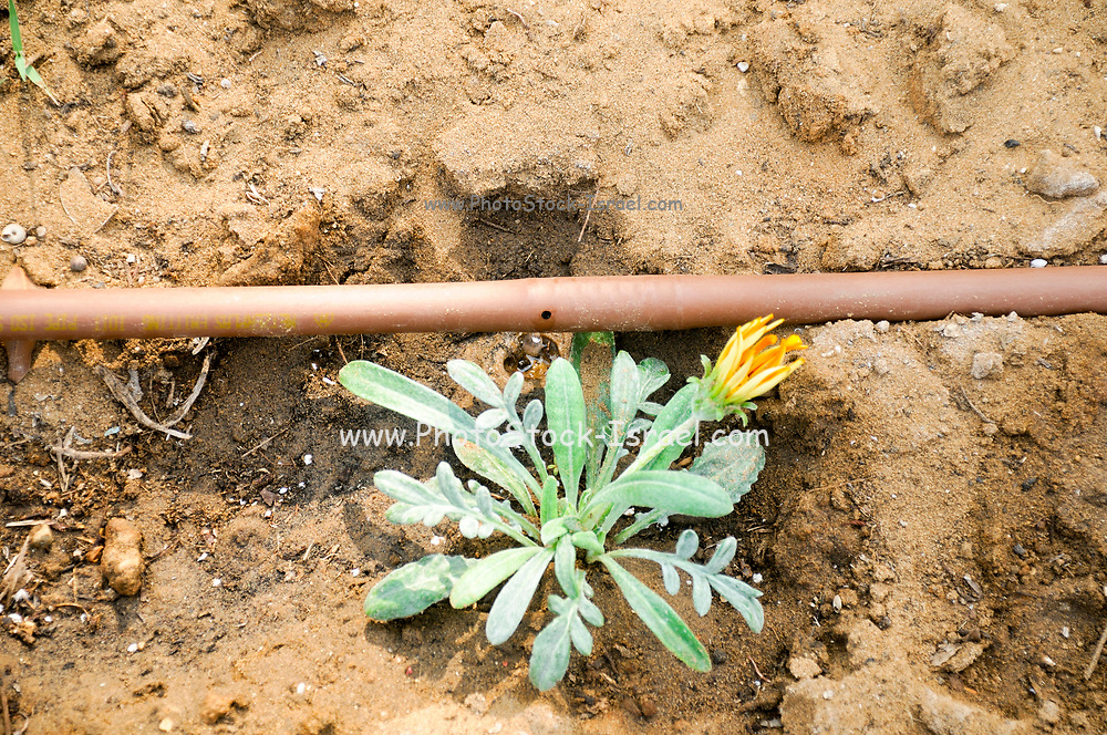 Israel, Tel Aviv, Drip Irrigation of a garden an efficient way to save water