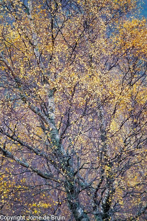 Yellow leaves on a birch tree in the Scottish Highlands.
