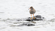 The Common Redshank or Redshank (Tringa totanus) is an Eurasian wader in the large family Scolopacidae.