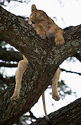 Lioness resting on a tree Serengeti National Park is a region of grasslands and woodlands in United Republic of Tanzania
