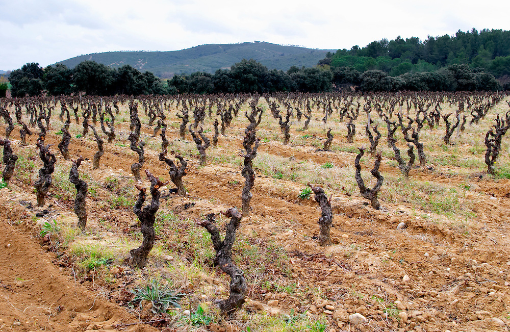 Chateau la Voulte Gasparets. In Gasparets village near Boutenac. Les Corbieres. Languedoc. Vines trained in Gobelet pruning. Old, gnarled and twisting vine. Terroir soil. France. Europe. Vineyard.