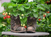 © Licensed to London News Pictures. 20/05/2013. London, UK A pair of old boots used as a container inn which strawberries are grown. Press day at Chelsea Flower Show 2013. The centenary edition of the show attracts large number of visitors and is already sold out before opening day. Photo credit : Stephen Simpson/LNP