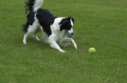 Eddie Sander with his Dogs Jackson and Inka<br /><br />18 June 2004<br /><br />Copyright Paul David Drabble<br /> [#Beginning of Shooting Data Section]<br />Nikon D1 <br /> Focal Length: 110mm<br /> Optimize Image: <br /> Color Mode: <br /> Noise Reduction: <br /> 2004/06/18 09:51:15.3<br /> Exposure Mode: Manual<br /> White Balance: Auto<br /> Tone Comp: Normal<br /> JPEG (8-bit) Fine<br /> Metering Mode: Center-Weighted<br /> AF Mode: AF-C<br /> Hue Adjustment: <br /> Image Size:  2000 x 1312<br /> 1/250 sec - F/6.3<br /> Flash Sync Mode: Not Attached<br /> Saturation: <br /> Color<br /> Exposure Comp.: 0 EV<br /> Sharpening: Normal<br /> Lens: 80-200mm F/2.8<br /> Sensitivity: ISO 200<br /> Image Comment: <br /> [#End of Shooting Data Section]