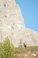 """Trophy Bull Elk, Grand Teton, Jackson Hole, Wyoming<br /> <br /> For production prints or stock photos click the Purchase Print/License Photo Button in upper Right; for Fine Art """"Custom Prints"""" contact Daryl - 208-709-3250 or dh@greater-yellowstone.com"""