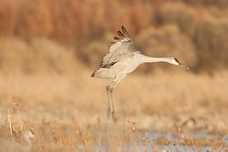 Sandhill crane landing (Grus canadensis) at Bosque del Apache National Wildlife Refuge, New Mexico, USA
