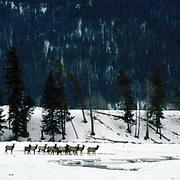 Elk, (Cervus elaphus) Herd gathers together in Lamar Valley. Prepares to cross Soda Butte Creek. Winter.