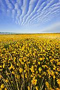 Altocumulus Clouds and Coreopsis at Sunrise, Carrizo Plain National Monument, California