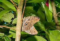 Owl Butterflies, Caligo sp., in the butterfly garden (mariposario) at Restaurante Selva Tropical, Guapiles, Costa Rica