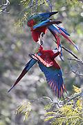 Jardim_MS, Brasil...A arara-vermelha (Ara chloropterus) no Buraco das Araras, Mato Grosso do Sul...Foto: JOAO MARCOS ROSA / NITRO