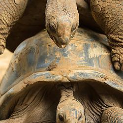 tortue géante des seychelles, Dipsochelys dussumieri