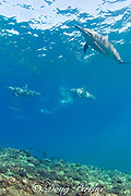 Hawaiian spinner dolphins or Gray's spinner dolphin<br /> Stenella longirostris longirostris<br /> Kona, Hawaii ( Big Island ) Hawaiian Islands<br /> ( Central Pacific Ocean )