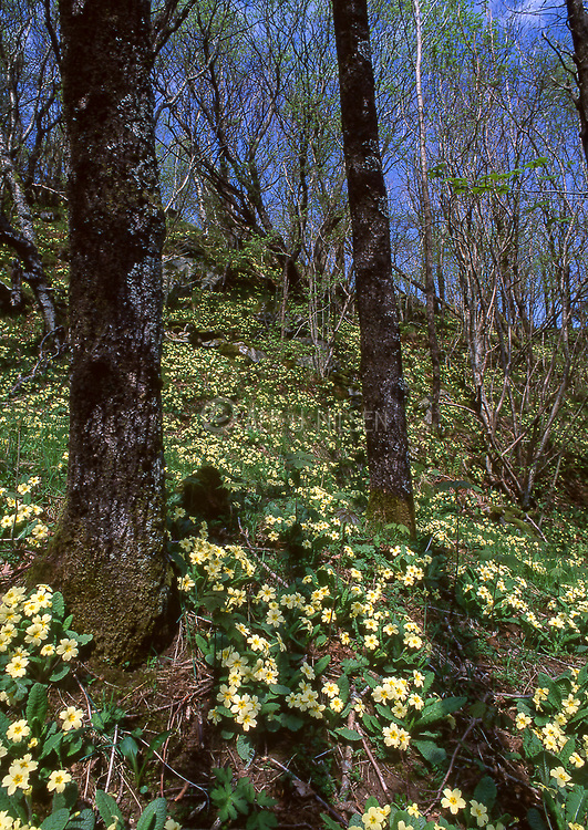 Dense growth of Common Primrose (Primula vulgaris) from Hidra, Agder, southern Norway in May.