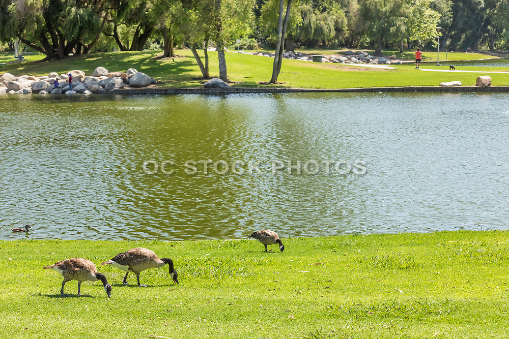Geese on the Grass Next to the Lake at Mason Park