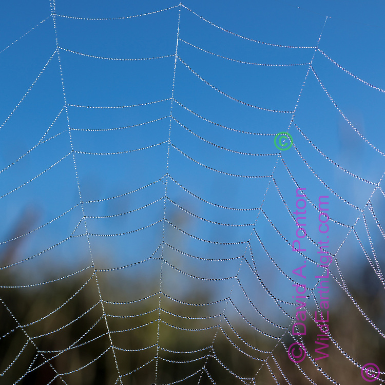 Dew decorates an orb web in the Valle Grande, revealing the surprising uniformity created by the spider, © David A. Ponton [Prints to any square size]