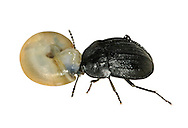 Phosphuga atrata eating snail