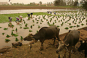 Planting rice near Alexandria, Egypt. (Supporting image from the project Hungry Planet: What the World Eats.)