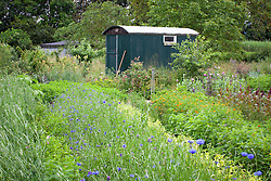 Shepherd's Hut at Worton Farm Shop, Oxfordshire with rows of cornflowers in the foreground