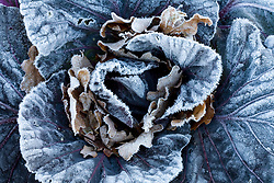 Hoar frost on red cabbage
