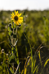 Ashy sunflower (Helianthus mollis) grows along the 1.5-mile Gayfeather Trail in the Regal Prairie Natural Area located in Prairie State Park. The park, located near Liberal, Mo. is Missouri's largest remaining tallgrass prairie. The park's nearly 4,000 acres is home to bison and elk. Panoramic hillsides of wildflowers such as prairie blazing star, sunflowers, and Indian paintbrush provide a canvas of color. In the fall, prairie grass such as big bluestem and Indian grass may tower as high as 8 feet tall. <br /> <br /> Tallgrass prairie once covered more than 13 million acres of Missouri's landscape. Today, less than one percent remains. The prairie at Prairie State Park remains because the rocky land was too difficult to plow, which protected it from being farmed. Hiking, animal viewing, camping, birdwatching, and photography are some of the activities that the park affords. <br /> <br /> The Regal Prairie Natural Area is a 240-acre state natural area within the park that is especially noted for its wildflower display. The Nature Conservancy and the Missouri Prairie Foundation provided funding for the purchase of much of the park's acreage. The area was dedicated as a state park in 1982.