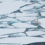A polar bear makes its way across broken ice in the Beaufort Sea.
