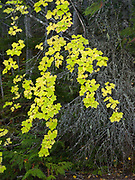 Mountain Maple, Acer glabrum, growing along the shore of Lake McDonald, Glacier National Park, Montana.