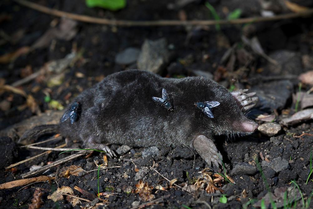 Flies on dead European mole, Talpa Europaea, in a country garden, the Cotswolds, Oxfordshire, UK