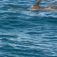 A whale surfaces in Monterey Bay, California.