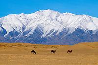 Mongolie, Province de Khovd, paysage de l'Altai enneigé en hiver // Mongolia, Khovd, Bactriane camelsin front of Altai mountain