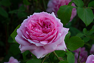 """Rosa 'Jacques Cartier"""" at Chiswick House Gardens, Chiswick House, Chiswick, London, UK"""