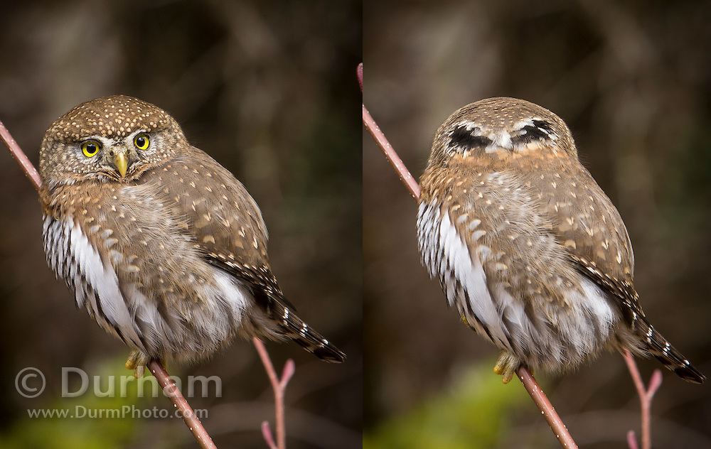 A Northern Pygmy Owl (Glaucidium gnoma) showing false eyes on the back of its head near the Clackamas River in the Mount Hood National Forest, Oregon. It is believed the