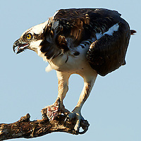 Osprey with a Fish for Breakfast. Merritt Island National Wildlife Refuge in Florida. Image taken with a Nikon D800 camera and 500 mm f/4 VR lens (ISO 100, 500 mm, f/5.6, 1/640 sec).