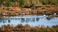 White Ibis (Eudocimus albus), Roseate Spoonbill, (Platalea ajaja). Black Point Wildlife Drive. Merritt Island National Wildlife Refuge. Image taken with a Nikon D3s camera and 200-400 mm f/4 lens.