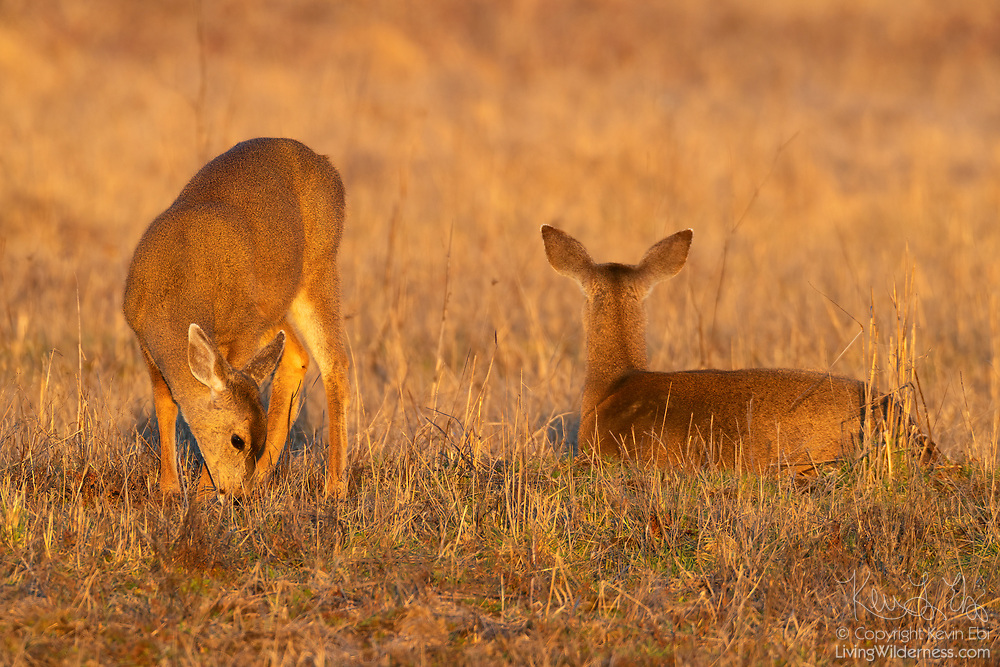A pair of Columbian black-tailed deer (Odocoileus hemionus columbianus) take turns grazing and watching out in a field in Pierce County, Washington.
