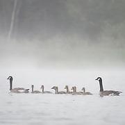Canada goose (Branta canadensis) family. Island Lake, Minnesota