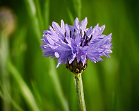 Bachelor Button (Blue Cornflower) . Image taken with a Nikon N1V3 camera and 70-300 mm VR lens (ISO 400, 300 mm, f/5.6, 1/400 sec).